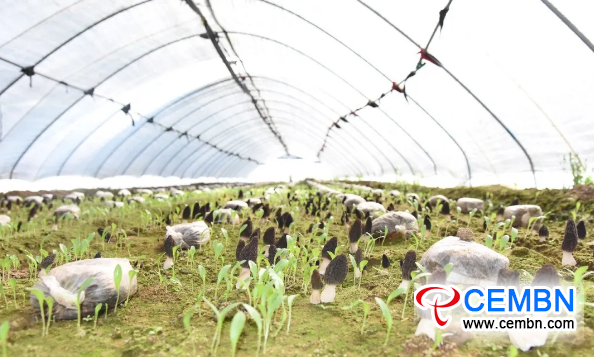 CEMBN In shed farmers grow rare mushroom gain 5000 CNY profits 2