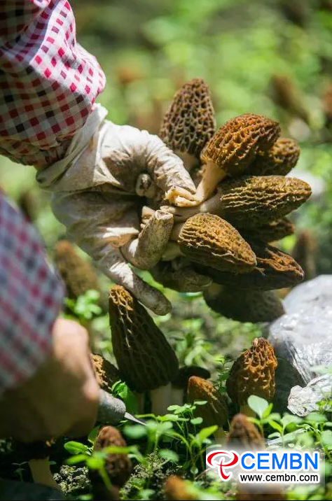 CEMBN annual output value Morel cultivation hits 4 million CNY detail
