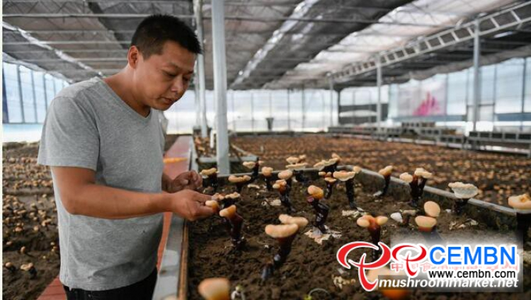 Artificial cultivation of White Reishi mushroom got succeeded in Tibet, China
