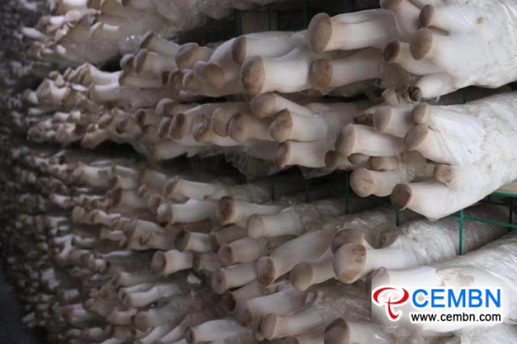 Yunnan Province: New economic pattern is established in mushroom industry