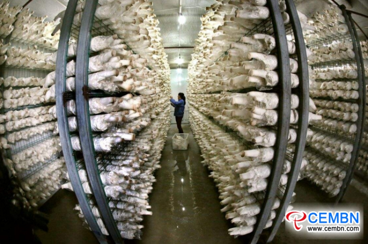 This county annually outputs 600,000 tons of mushrooms and creates profits for farmers