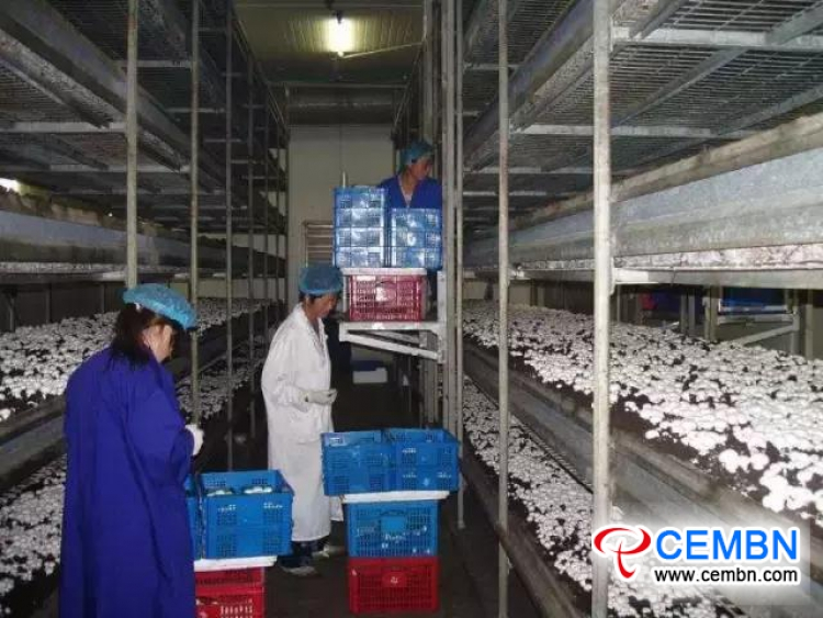 Mushroom Growing: The Sunrise Industry in Xiyang County, Shanxi Province of China