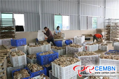Cropping Agrocybe cylindracea can be a promising industry