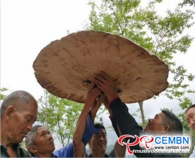 Giant Ganoderma found in Yunnan Province goes viral on the Internet