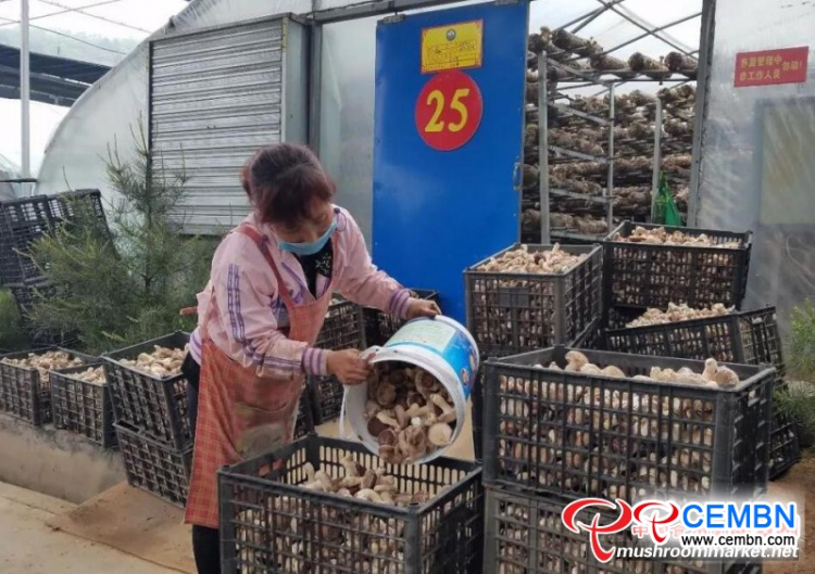 Mushroom production and marketing thrive in Henan Changsheng Mushroom Company