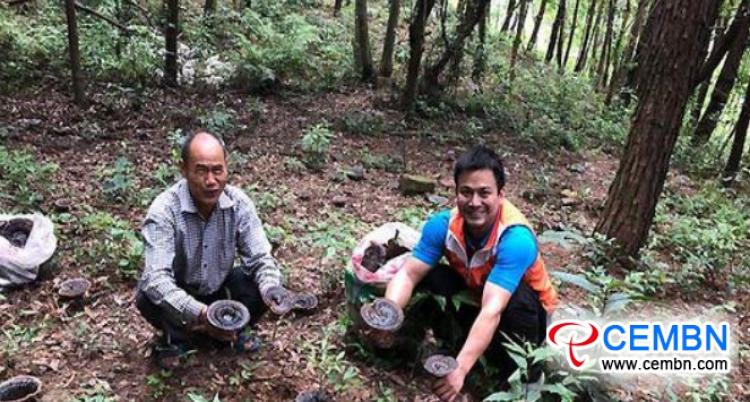 Wild-stimulated Ganoderma cultivation lights up an affluent path for growers