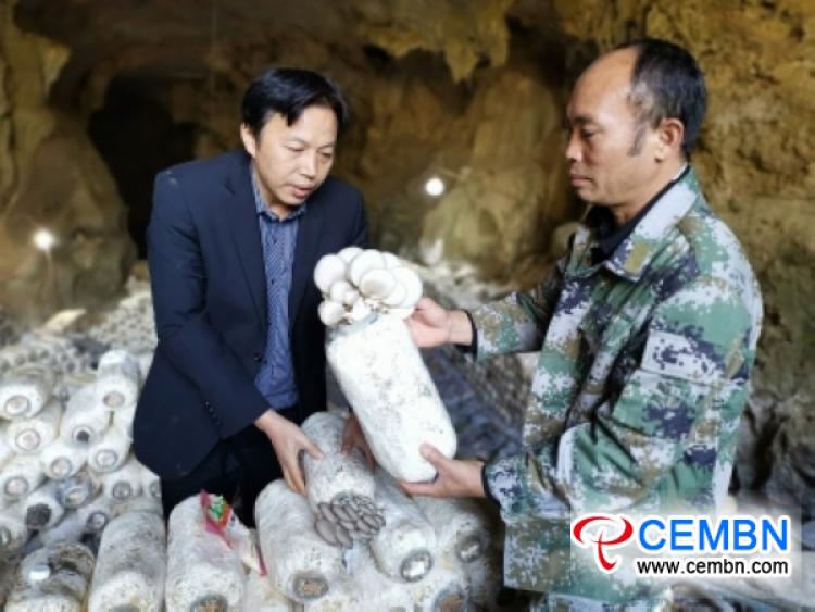 5000 mushroom sticks experimentally cultivated in karst cave boom