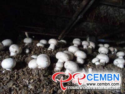 Mushroom farming is turned into a big and flourishing industry