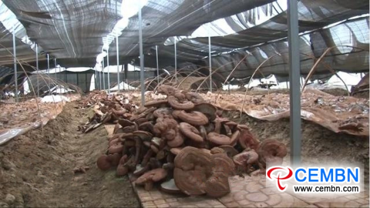 Artificial planting of Reishi mushroom got succeeded