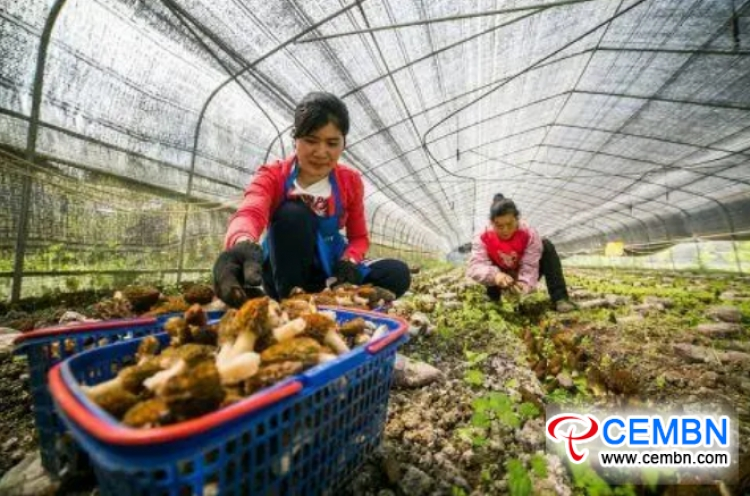 In this village, annual output value on Morel mushroom cultivation hits over 4 million CNY
