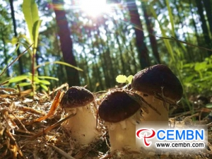Stropharia rugosoannulata farmed under the forest fattens growers' wallet