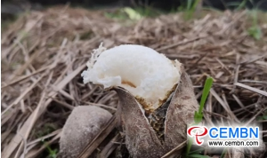 Dictyophora indusiata cropping: Annual sales volume hits 20 million CNY