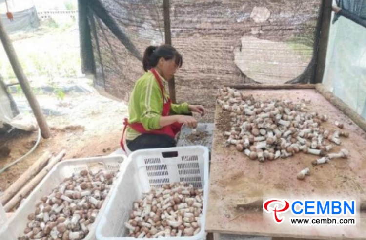 Agaricus blazei cultivation is fattening poor households' wallet
