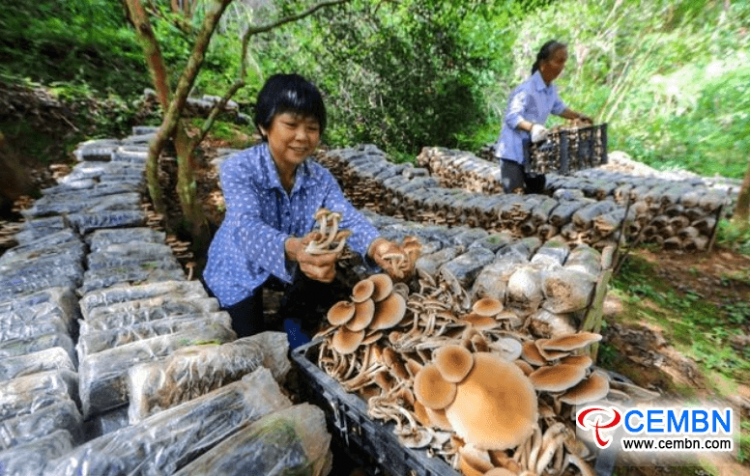 Under-forest mushroom farming boosts considerable incomes