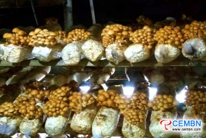 Growing Pholiota nameko can be a lucrative business