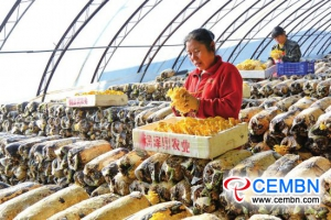 Green and ecological Pleurotus citrinopileatus cultivation fevers