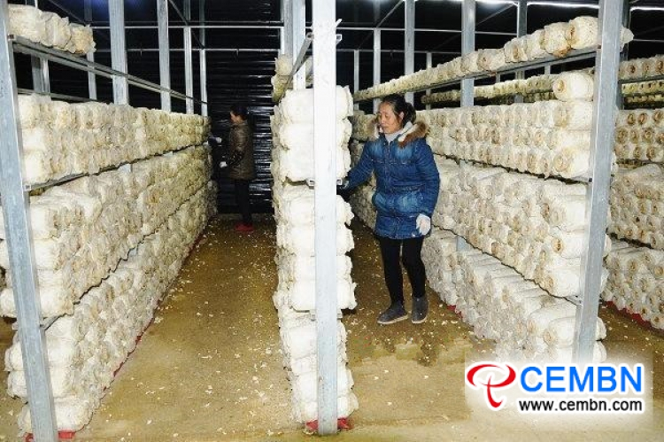 Pleurotus geesteranus farming provides weapon for poverty removal