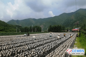 Wood ear cultivation means a prosperous industry