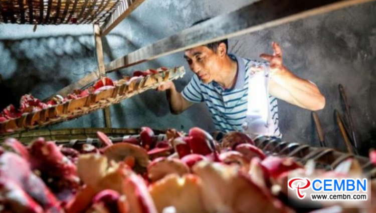 Fujian Province: Russula mushrooms are coming into season