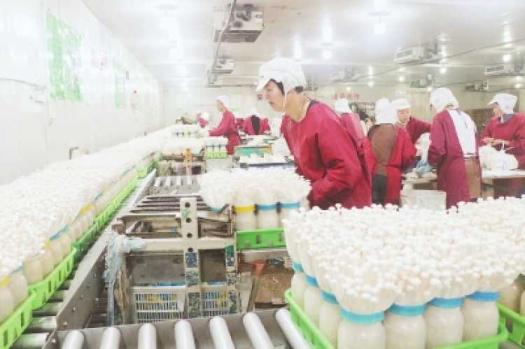 Fujian VANCHEN Mushroom Biotechnology Inc: Daily mushroom output reaches 110 tons