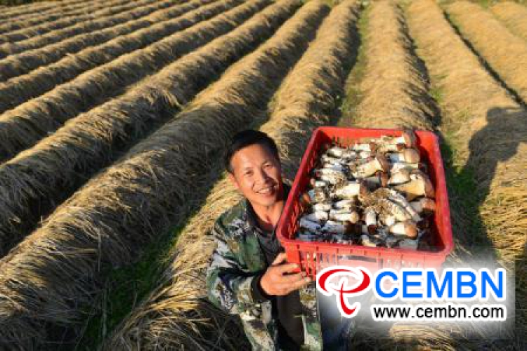 Mushroom industry is growing steadily in Jianhe County, Guizhou Province of China