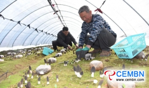 In a shed, farmers grow this rare mushroom and gain 5000 CNY of profits!