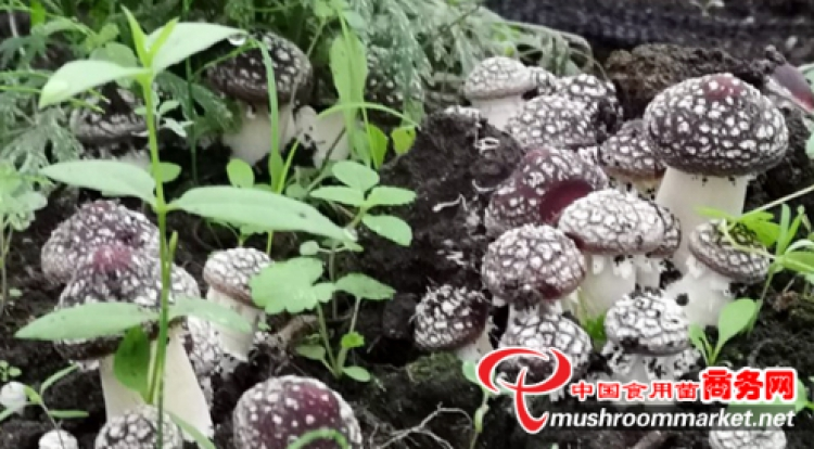Waste Black fungus bags are treasures for trial Stropharia rugosoannulata cultivation