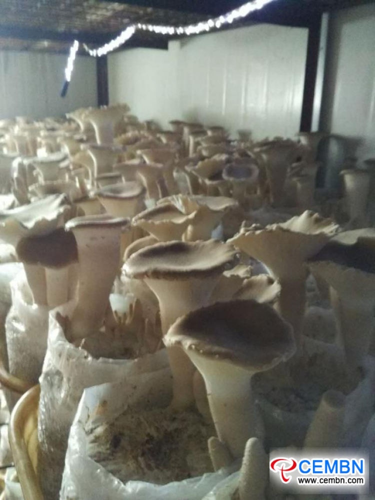 New mushroom variety: Trial cropping of Big Clitocybe mushroom got succeeded