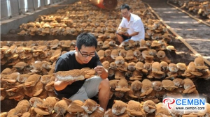 Tapping into Reishi mushroom growing to harvest handsome results